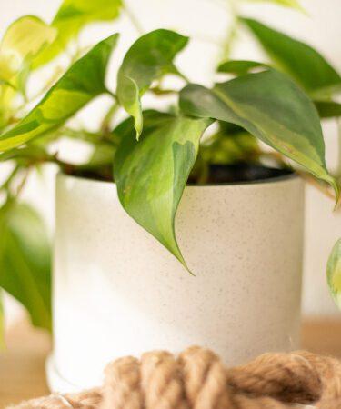mamazetkoers Philodendron Scandens Brasil verzorgen en stekken