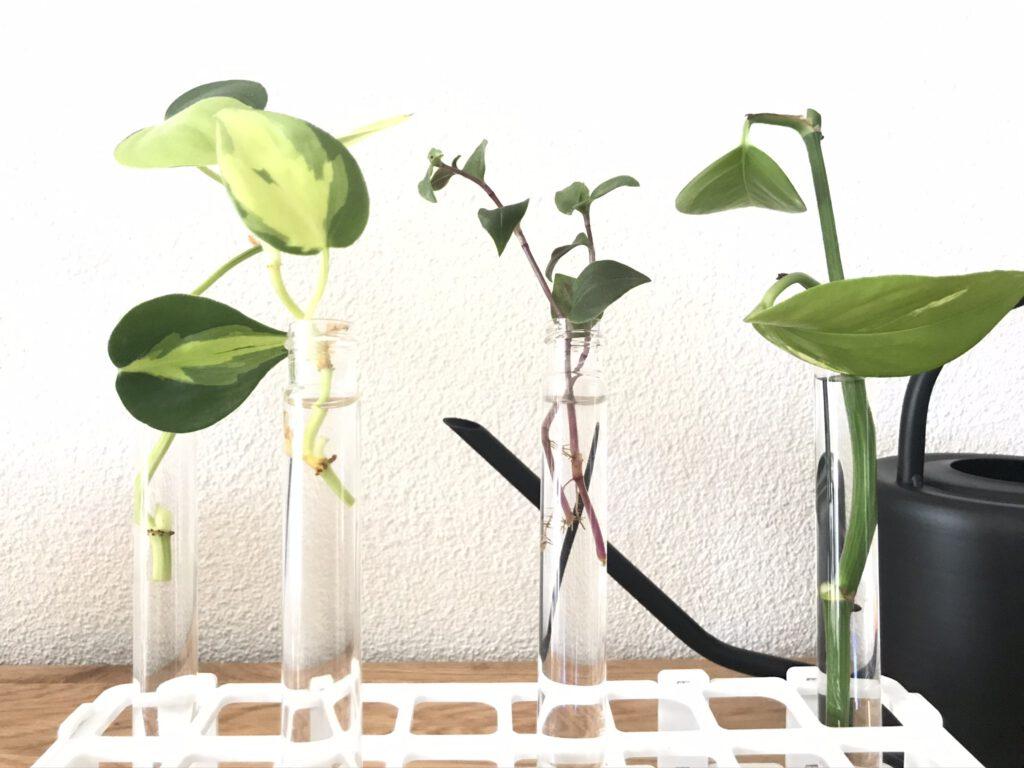 Philodendron Scandens Brasil verzorgen en stekkenrek mamazetkoers